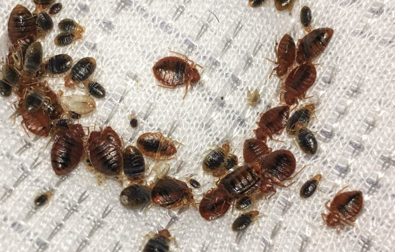 Common Tips To Get Rid Of Bed Bugs